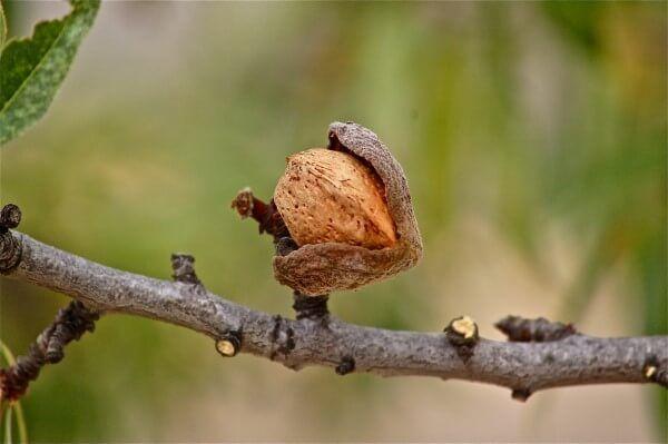 Badem Ağacı kaç yılda meyve verir?